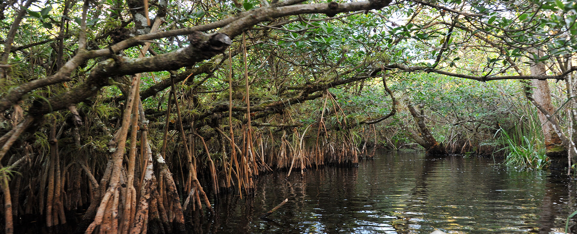 mangrove forest naples