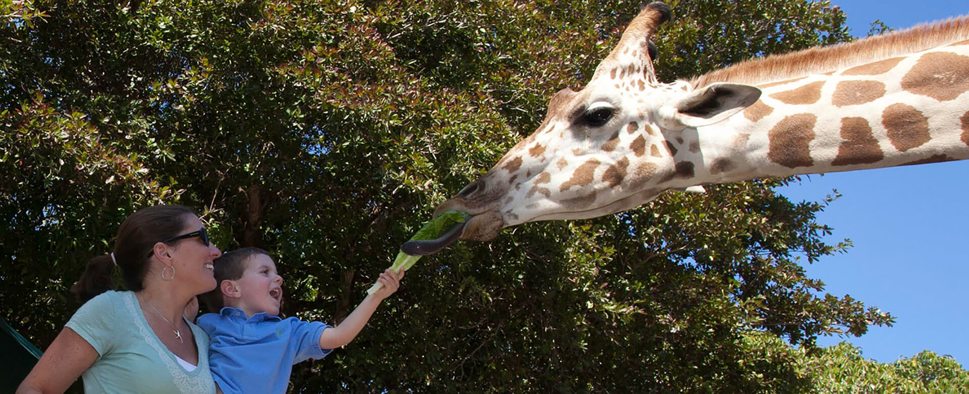 child feeding giraffe